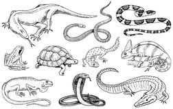 Set of reptiles and amphibians. Wild Crocodile, alligator and snakes, monitor lizard, chameleon and turtle. Pet and. Tropical animal. Engraved hand drawn in old Royalty Free Stock Image