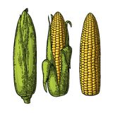 Set ripe cob of corn from the closed to the cleaned. Stock Images