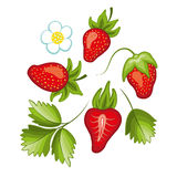 Set of ripe sweet strawberry and flower with leaves. Vector. Stock Images