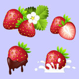 Set of ripe sweet strawberry with flowing chocolate, splash of cream, leaves and flower Royalty Free Stock Image