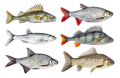 Set of  river fish collection, isolated on white background. Set of  river fish collection, isolated on white background Royalty Free Stock Photo