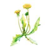 Set rośliny Żółci dandelions akwarela ilustracji