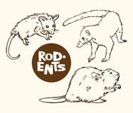 Set of rodents animals: opossum, nosuh and beaver  Royalty Free Stock Photos