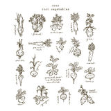 Set of root vegetables. Free hand drawing Stock Photos