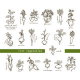 Set of root vegetables. Free hand drawing Stock Images