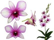 Set rosa Orchideen Stockbild