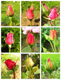 Set of rose buds. Stock Photo