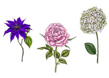 Set with rose, clematis and phlox flowers, leaves and stems  on white background. Botanical  illustration. Set with rose, clematis and phlox flowers, leaves and Royalty Free Stock Image