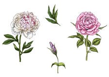 Set with rose and peony flower, leaves, bud and stems isolated on white background. Botanical  illustration Stock Photography