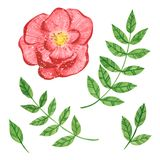 Set of rose ranunculus and branches with green leaves, herb royalty free illustration