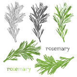 Set of rosemary  isolated on white background. Hand drawn  Royalty Free Stock Images