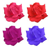 Set of roses. Set of four colorful roses on a white background Royalty Free Stock Photos