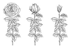 Set of roses Royalty Free Stock Photos