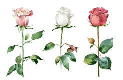 Watercolor roses on white background Stock Image