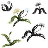 Set of rosette flowers dandelion. Black silhouettes and colorfull. stock illustration