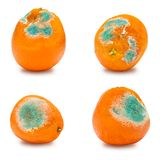 A set of rotten moldy oranges, tangerines isolated on white background. A photo of the growing mold. Food contamination, bad spoil. Ed disgusting rotten fruit royalty free stock photography