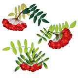 Set of rowan berries with leaves isolated Royalty Free Stock Photos