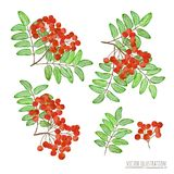 Set of rowan berries with leaves isolated Royalty Free Stock Photo