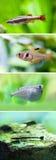 Set słodkowodne akwarium ryba Biel minnow Obłoczna Halna ryba, Różowy Tetra, latanie heavily-keeled ciało Fotografia Stock