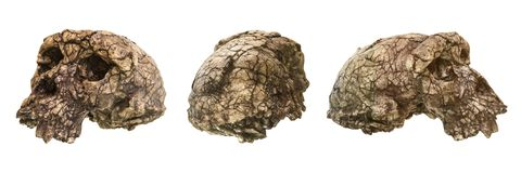 Set of Sahelanthropus tchadensis Skull Toumai . Discovered in 2001 in Djurab desert in Northern Chad , Central africa . Dated stock image