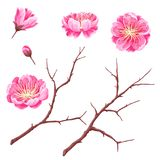 Set of sakura buds or cherry blossom and branches. Japanese blooming flowers.  stock illustration