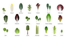 Set of salad bowl. Leafy vegetables green salad. Vector Stock Image