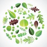 Set of salad greens. Design. Leafy vegetables Stock Images