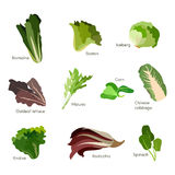 Set of salad greens. Leafy vegetables salad icons. Vector Royalty Free Stock Photos