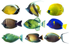 Set of sea nr.2- reef fish on white background Royalty Free Stock Images