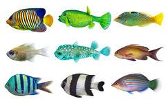 Set of sea nr.3- reef fish on white background Royalty Free Stock Photo
