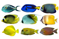 Set of sea - reef fish on white background Royalty Free Stock Photos