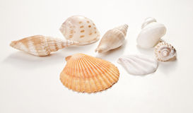 Set of sea shells. On white background Royalty Free Stock Image