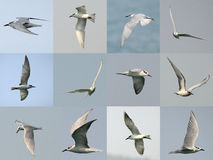 Set of Seagull flying Stock Images