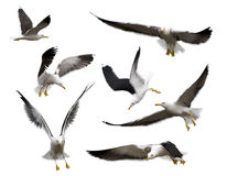 Set of seagulls Royalty Free Stock Image