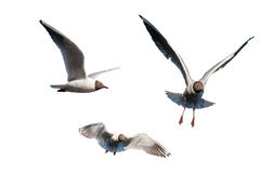 Set of seagulls isolated Royalty Free Stock Photography