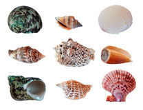 Set seashells Stock Image