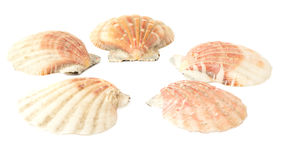 Set Seashells Stockfoto
