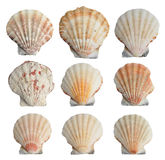 Set of seashells Royalty Free Stock Image