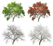Set of seasonal tree in summer autumn and winter. Set of four seasons tree isolated on white background Royalty Free Stock Images
