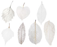 Set of seven light leaf skeleton isolated on white stock photography