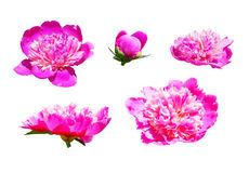 The set of several hot pink peony flowers Royalty Free Stock Images