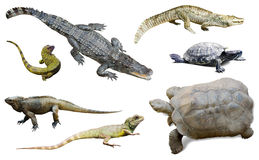 Set of several reptilian. Isolated on white Royalty Free Stock Photo