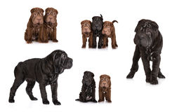 Set of shar pei puppies Stock Photo