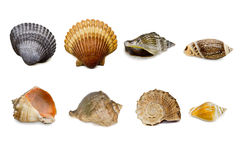 A set of shells isolated Stock Photography