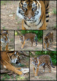 set siberian tiger för collage Royaltyfri Foto