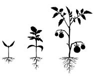 Set of silhouettes of tomato plants Royalty Free Stock Image