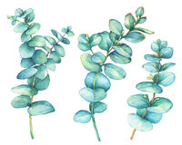 Set of  silver-dollar eucalyptus Eucalyptus cordata, plant also known as Silver Dollar Gum. Watercolor hand drawn painting illustration, isolated on white Royalty Free Stock Photography