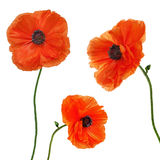 Set of single poppy flowers isolated on white background. Stock Photo