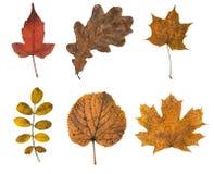 Autumn leaves isolated. Set of six autumn leaves isolated on white background Royalty Free Stock Photo