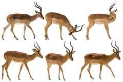 Set of six blackfaced impala royalty free stock photo